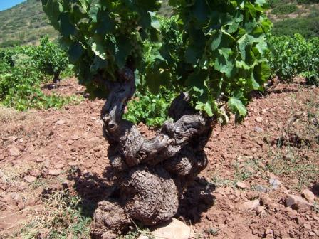 Old vines Garnacha (Alto Moncayo Mountains,  Borja